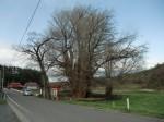 イチョウの木(階上町指定の天然記念物)