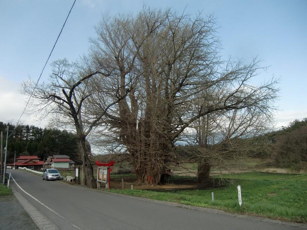 イチョウの木(階上町指定の天然記念物) | ふるさとはしかみ会