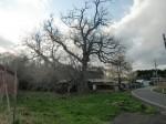 トチの木(階上町指定の天然記念物)