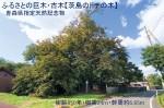 ふるさとの巨木・古木【茨島のトチの木】  青森県指定天然記念物(樹齢850年・樹高24m・幹周約6.65m)