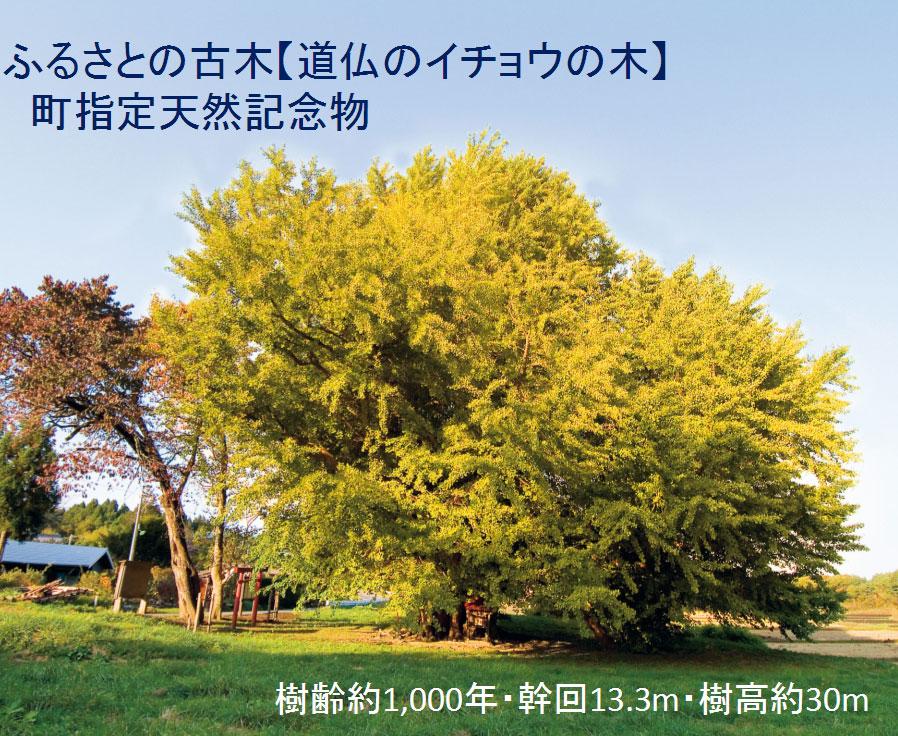 仏のイチョウの木】  町指定天然記念物(樹齢約1,000年・幹回13.3m・樹高約30m)