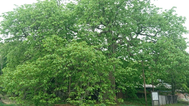 茨島のとちの木